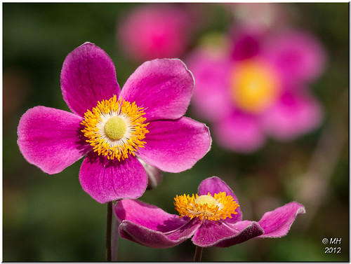 Japanese Anemones | by Maria-H