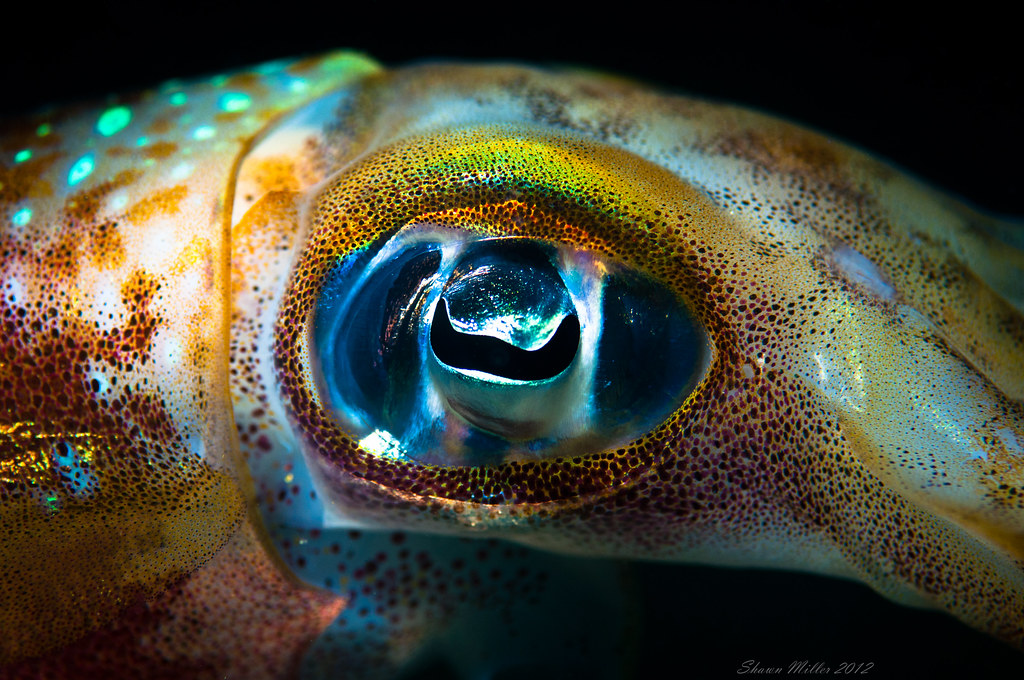 Sepioteuthis lessoniana - Big fin reef squid eye ...