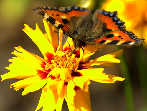 Tortoiseshell butterfly | by Andrew Yearsley