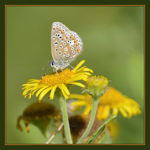 Common Blue (f) | by Full Moon Images