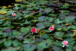 Lily Pond | by mikeyb125