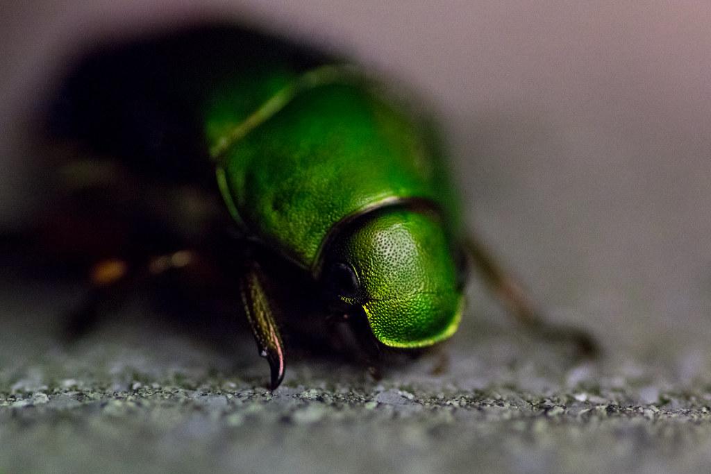 Drone beetle (Matsudo,...