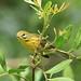 Prairie Warbler 4-20120919