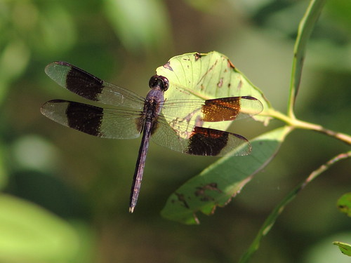 Band-winged Dragonlet (Erythrodiplax umbrata) 20120920 | by Kenneth Cole Schneider