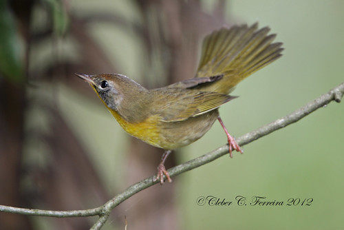 Common Yellowthroat - Geothlypis trichas | by Cleber C. Ferreira