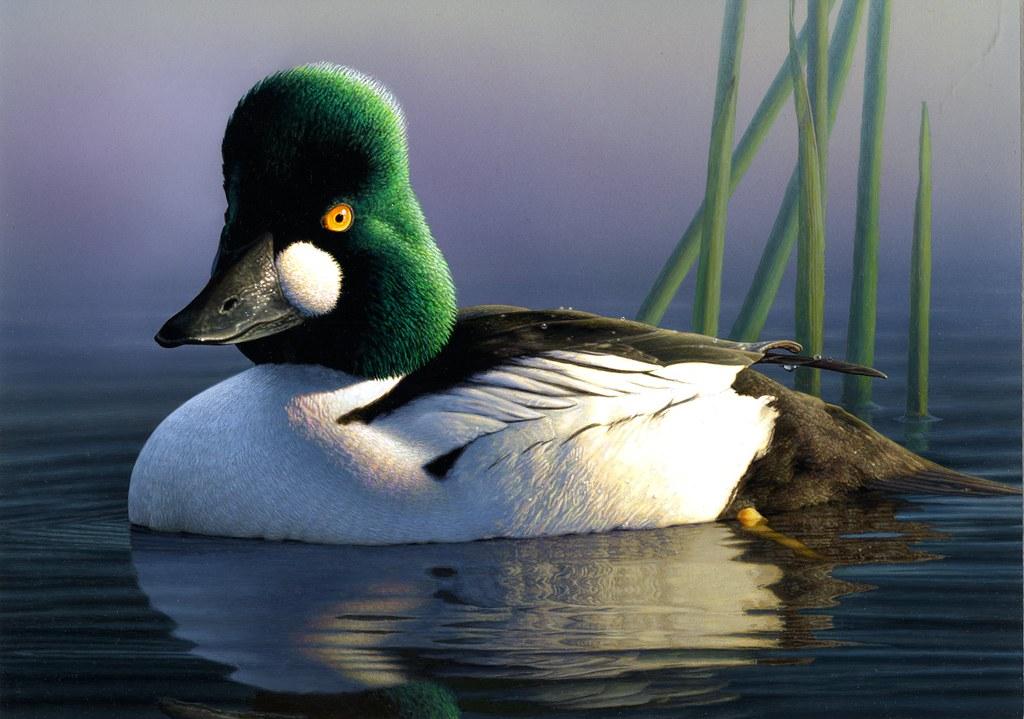 2012 Duck Stamp Winner Robert Steiner An Artist From