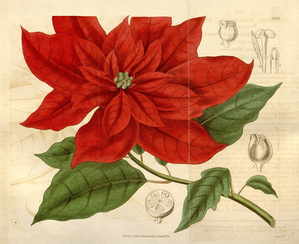 Image Result For Poinsetta In Spanish
