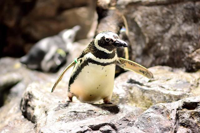 すみだ水族館_ペンギン