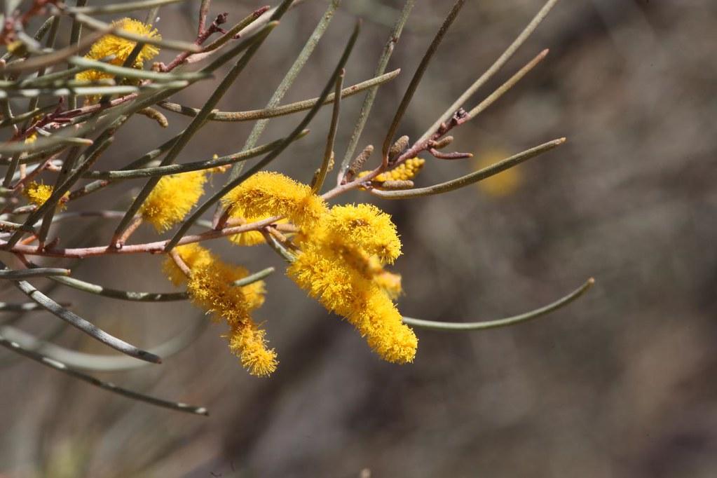 Mulga acacia aneura flowers alice springs desert park flickr central mulga acacia aneura flowers alice springs desert park alice springs central mightylinksfo