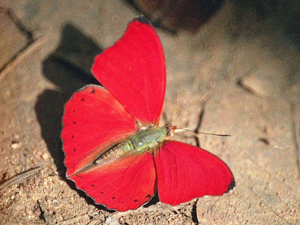 Cymothoe Hobarti Cymothoe Hobarti Red Glider Butterfly