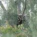 Bald Eagle nest 20121017