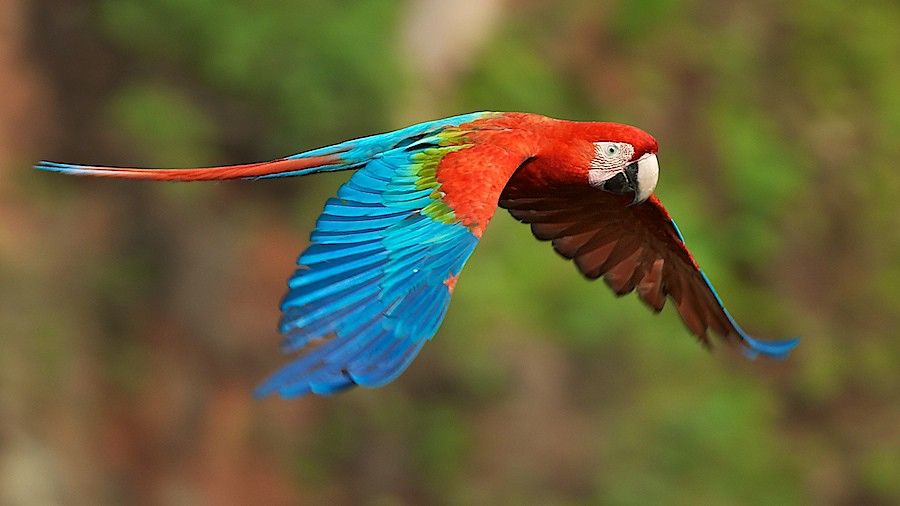 Rainforest Birds Flying Red-and-green Macaw (A...