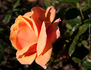 September Rose | by MarilynWelch