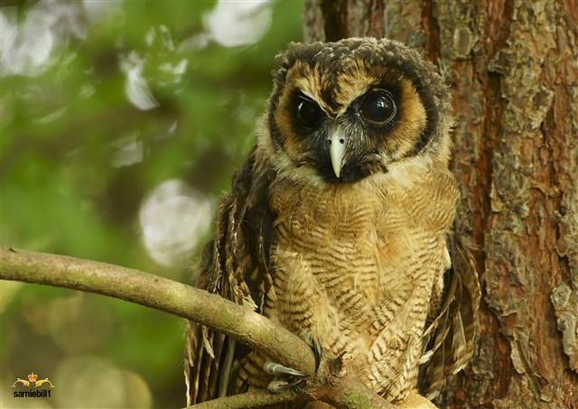 Asian Wood Owl 53
