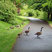 Green River Goslings