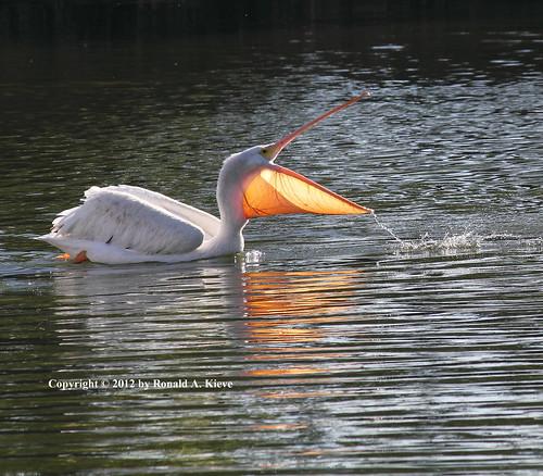 Pelicans Pelecanus Erythrorhynchos: American White Pelican (Pelecanus Erythrorhynchos), Sepulv