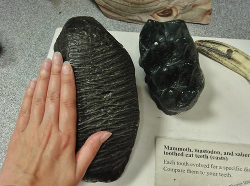 Image shows a mammoth tooth, which is huge and black and has a crinkly surface. My hand beside it is actually smaller than it is! Beside it is a smaller black mastodon molar, and the tippy top of a saber tooth fang, which is ivory and slender but about as long as the mammoth tooth..