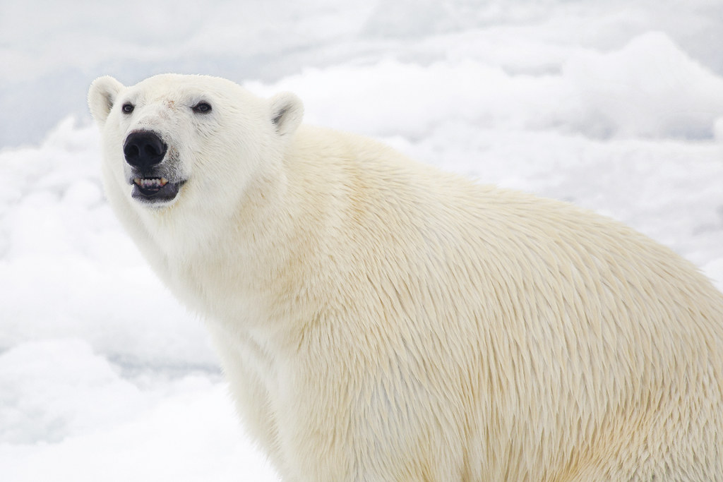 Polar bear smiling - photo#5