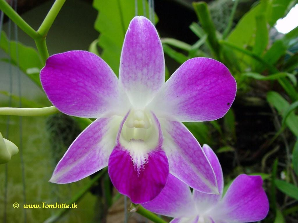 sai nam phung orchid farm mae rim chiang mai thailand