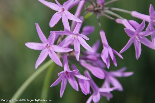 small purple flowers in bloom at park  floridaphotographygu…  flickr, Beautiful flower