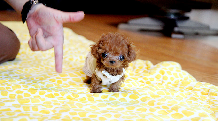 Tiny micro teacup poodle puppy so cute teacup poodle for Tiny puppies that stay tiny for sale