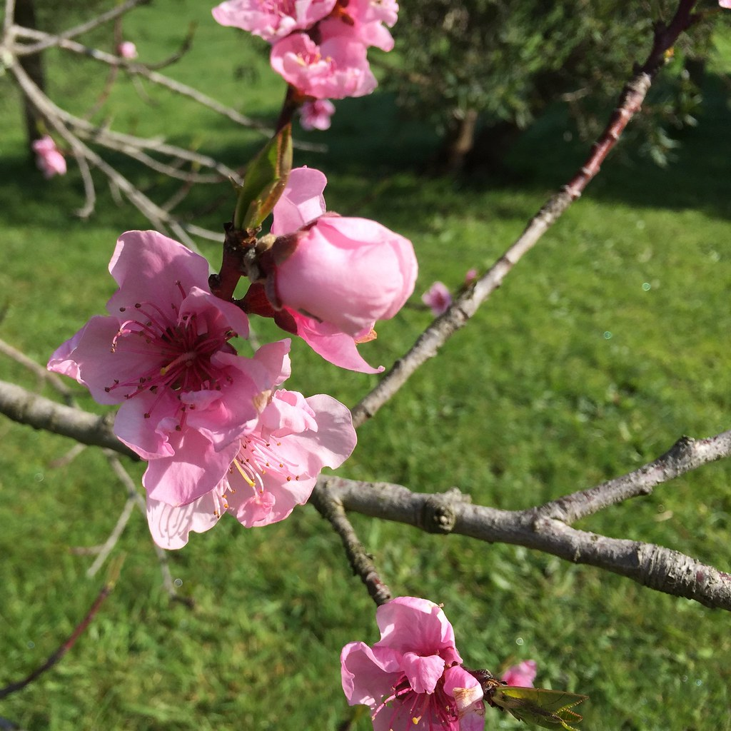 pink blossoms on an unknown fruit tree in the orchard