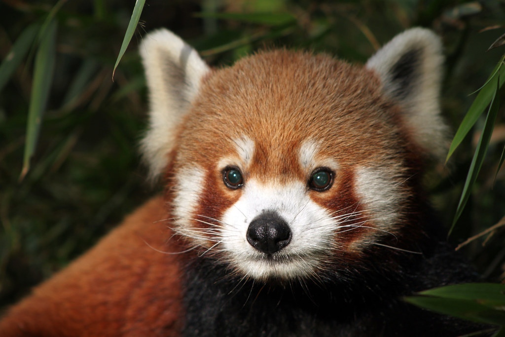 Red Panda Darjeeling India Red Panda Flowcomm Flickr