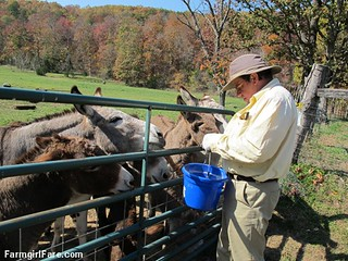 (24-5) Treat time for donkeys in the front field - FarmgirlFare.com | by Farmgirl Susan
