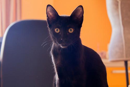 Selva, gatita Pantera guapa, estilizada y divertida esterilizada, nacida en Mayo´16, en adopción. Valencia. ADOPTADA. 29129813701_10bd87a4c6
