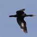 Aalscholver / Cormorant
