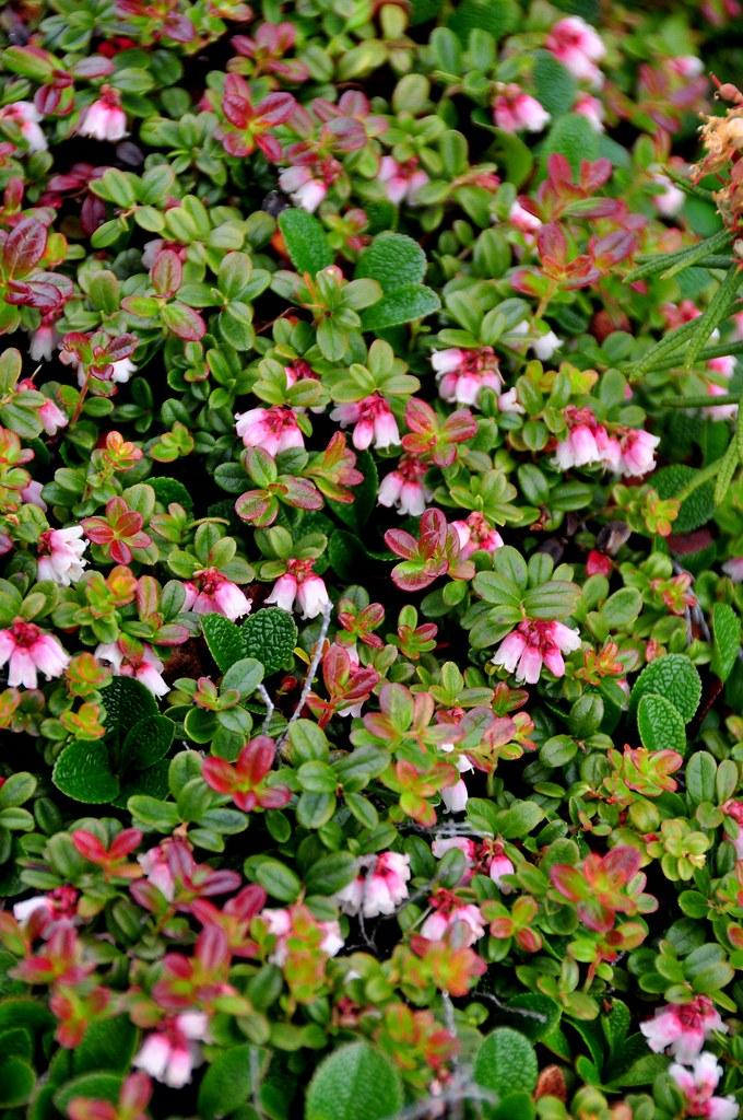 Blueberry Flower Patch | Northwest Territories, Canada Nikon… | Flickr