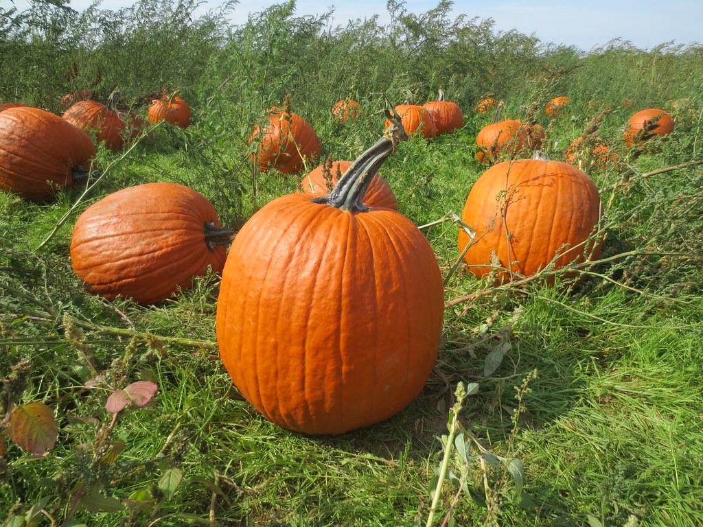 Long Island Pumpkin Picking And Corn Maze