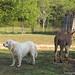 Daisy on donkey guard dog duty (16) - FarmgirlFare.com