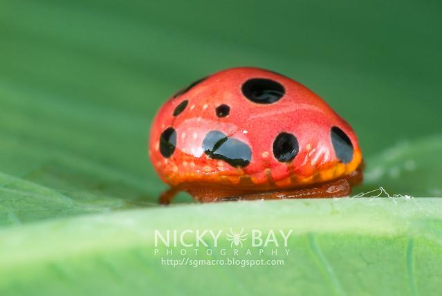 Ladybird Mimic Spider (Paraplectana sp.) - DSC_8884