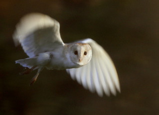 Barn Owl | by David Sanderson 33