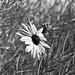 790 - wild sunflower