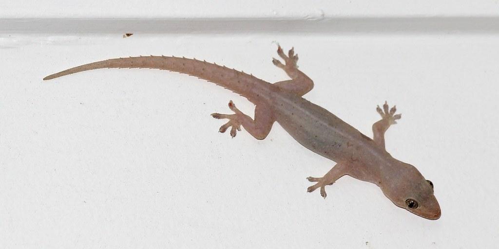 Asian House Gecko 6991 This Introduced Asian House Gecko