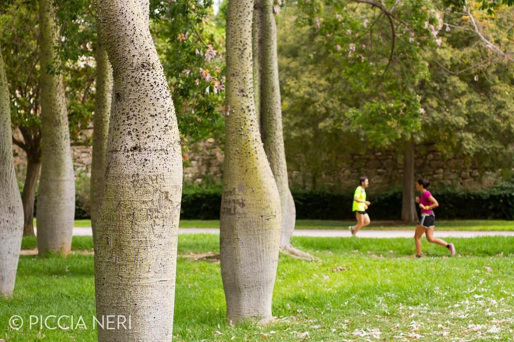 Ceiba Speciosa Or Silk Floss Tree A Subtropical Tree Wit Flickr