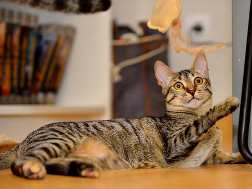 Muriel, gatita atigrada parda tímida y dulce esterilizada, de ojos cobrizos, nacida en Abril´16, en adopción. Valencia. 29578775876_f6e841e56b