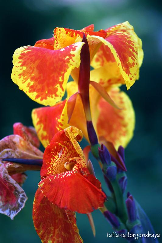 Яркие цветы канны