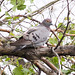 Yellow-eyed Dove (Columba eversmanni)