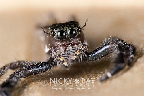 Jumping Spider (Hyllus sp.) - DSC_7297 | by nickybay
