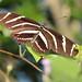 Zebra heliconian 20121012