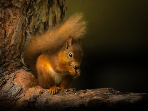 Red Squirrel at Loch Morlich-2 | by Maxwell Law Photography LRPS