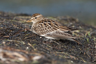 Pectoral sandpiper | by Through The Big Lens