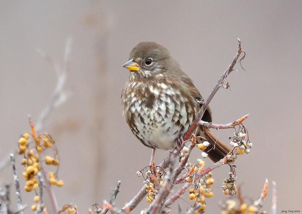 Fox Sparrow Front Coyote Hills Regional Park Fremont