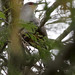 Hispaniolan Lizard Cuckoo (Coccyzus longirostris)