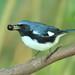 Black-throated Blue Warbler Dendroica caerulescens 3-20121022
