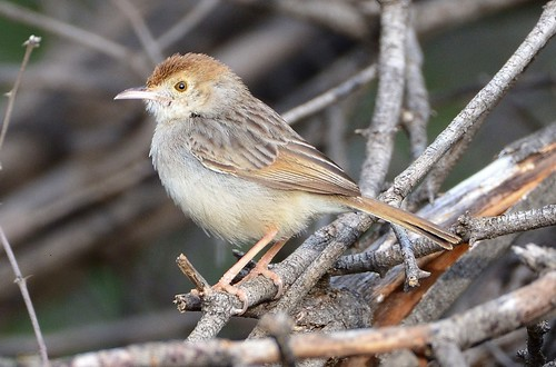 Rattling Cisticola (Cisticola chiniana) | by Ian N. White