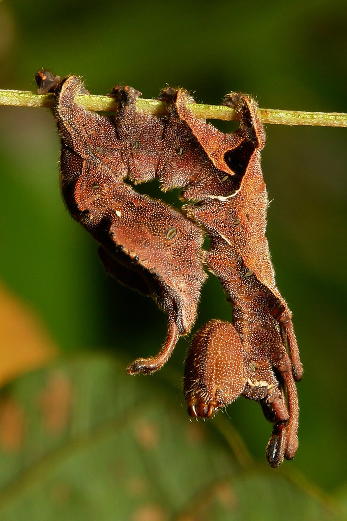 Lobster Moth Caterpillar (Stauropus sp., Notodontidae)   Flickr